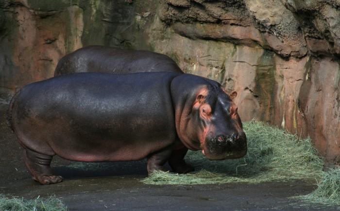 photoblog image Hippo at Oregon Zoo
